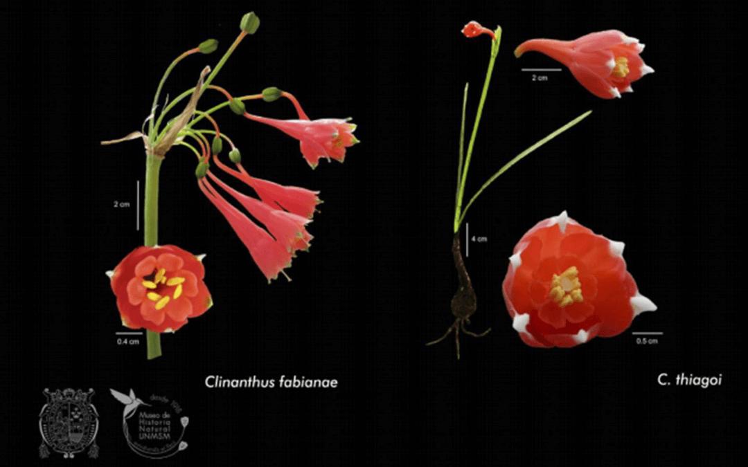 Descubren dos especies de plantas oriundas del norte del Perú en estudio dirigido por biólogo sanmarquino