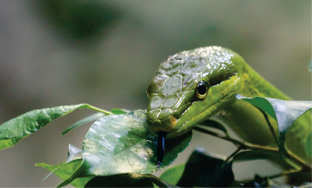 Sanmarquinos investigan el uso de células madre para contrarrestar secuelas tras mordedura de serpientes