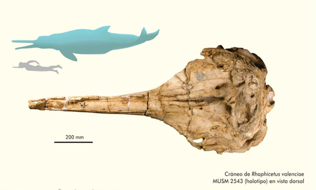 Paleontólogo del Museo Natural de Historia de la UNMSM participa en el hallazgo de cachalote fósil de 18 millones de años de antigüedad