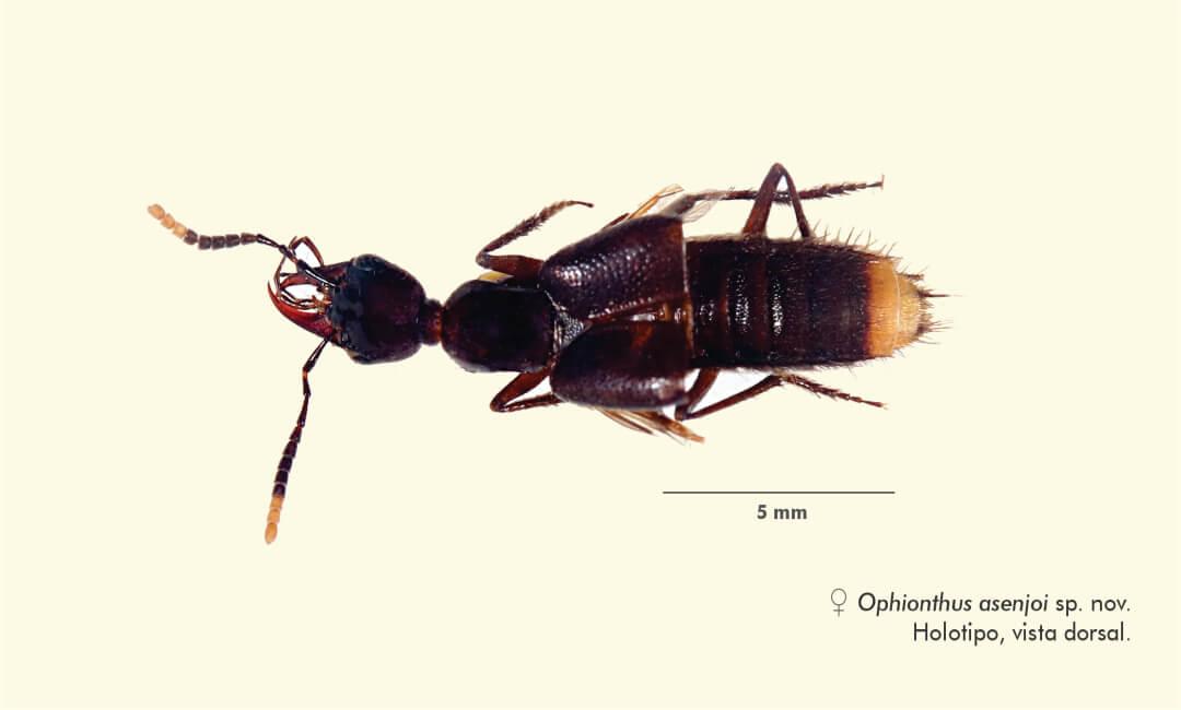 Bióloga sanmarquina descubre nueva especie de escarabajo en Perú
