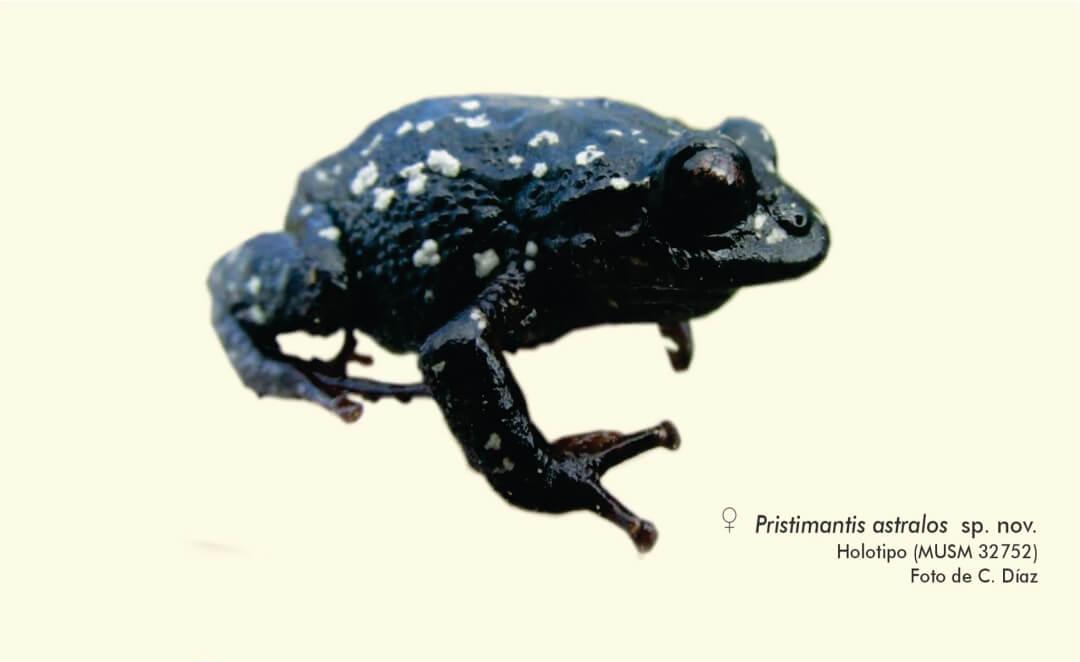 Investigador del Museo Natural de Historia de la UNMSM descubre una nueva especie de rana en Cajamarca