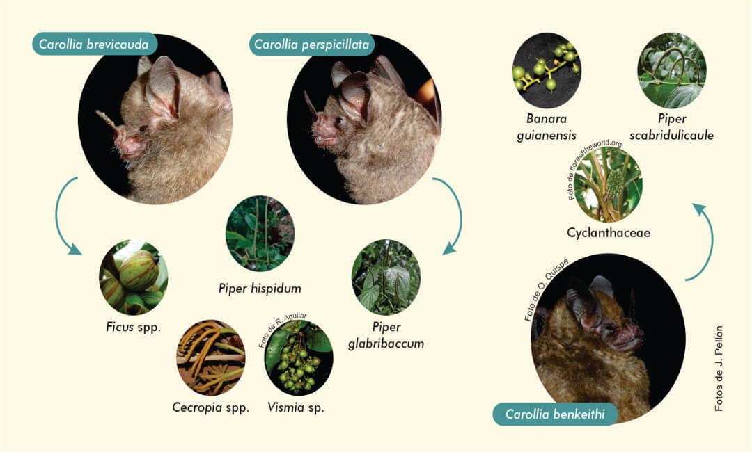 Biólogos describen relaciones tróficas de tres especies de murciélagos en Junín