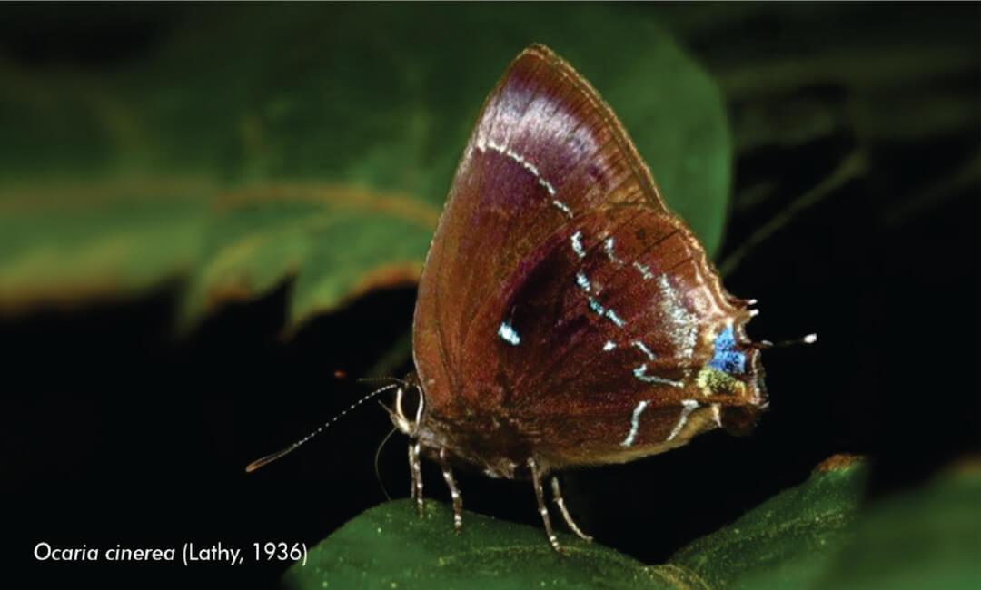 Entomólogo del Museo de Historia Natural UNMSM estudia la diversidad de mariposas en el valle de Cosñipata